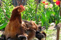 Weiterlesen: Da ga(c)k(ern) ja die Hühner